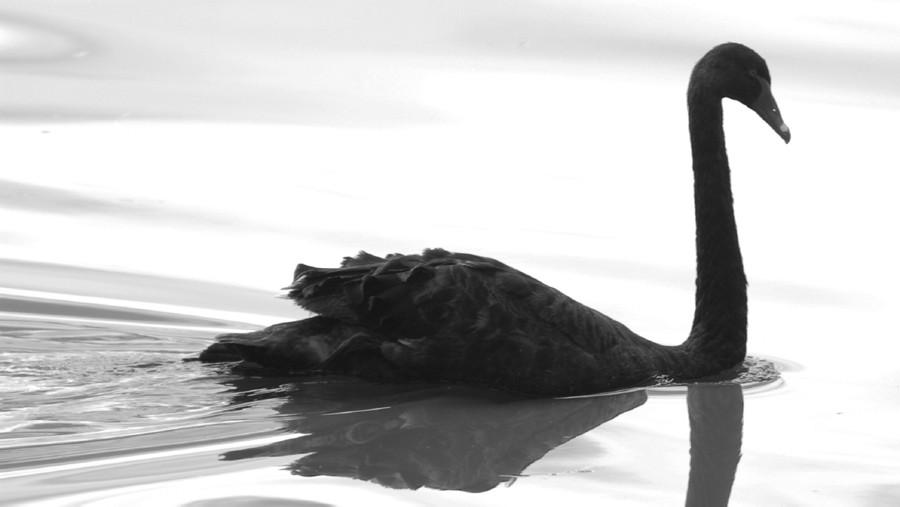 Black-Swan-900